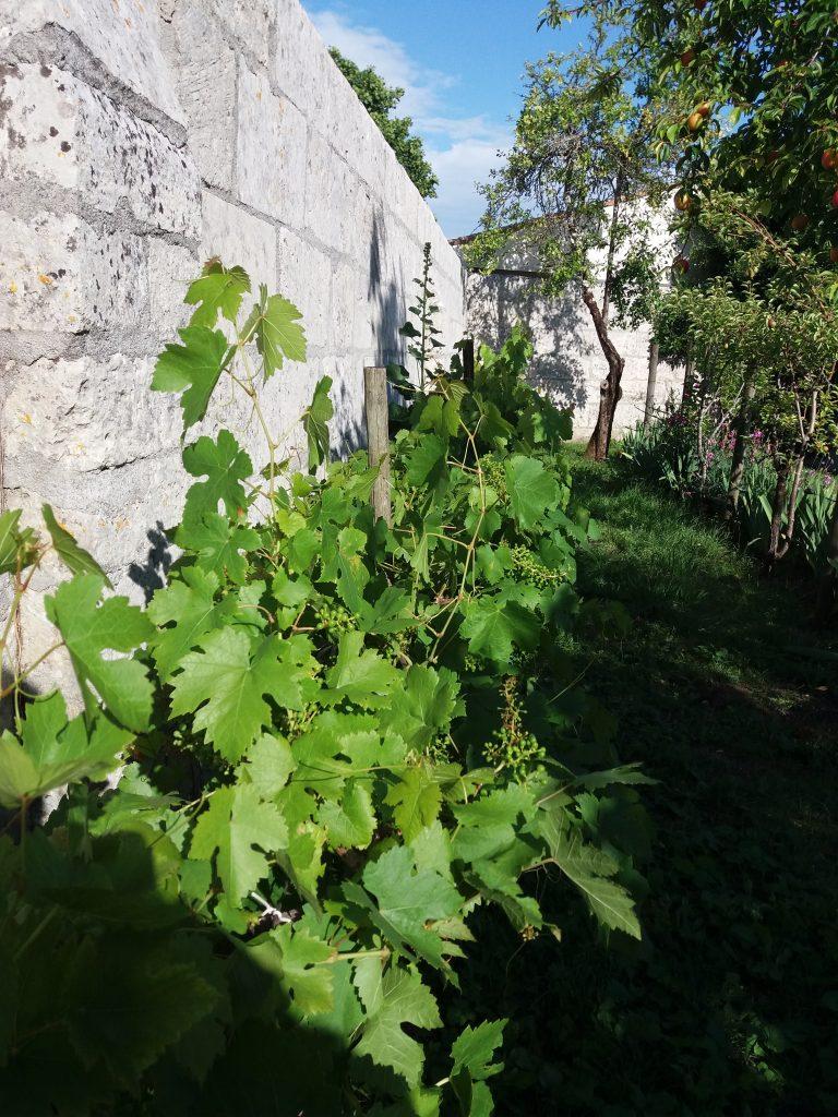 Pieds de Vignes du Clos des Passiflores