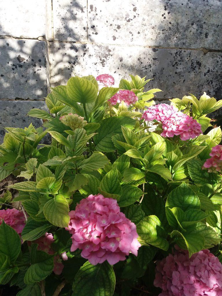 les hortensias rose Le clos des Passiflores à Pons